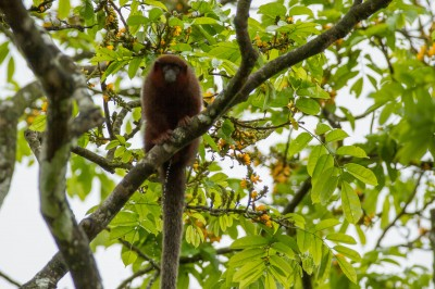 Red Titi Monkey