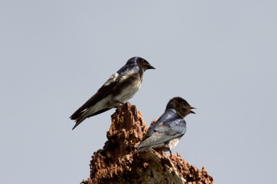 White-winged Swallows