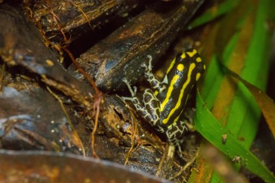 Black and Yellow Poison Dart Frog