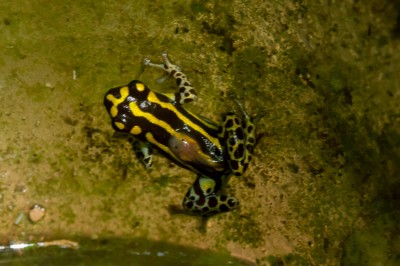 Black and Yellow Poison Dart frog with tadpole on back