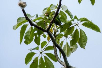 Cobalt-Winged Parakeet