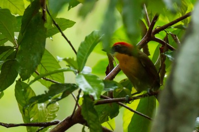 Scarlet-Crowned Barbet