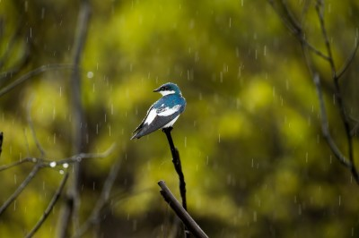 White-Winged Swallow in the rain