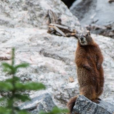Yellow Marmot