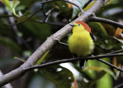 Wire-Tailed Manakin (male)