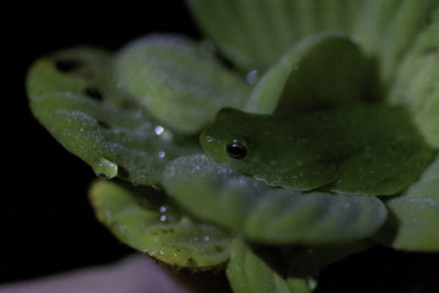 Green Frog on Water Lettuce (night excursion)