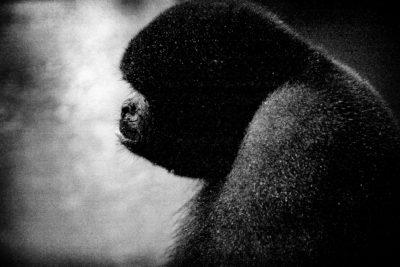 Wooly Monkey - Dorilla