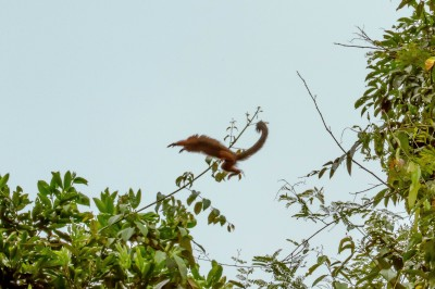 "Red Titi Monkey ""in flight"""
