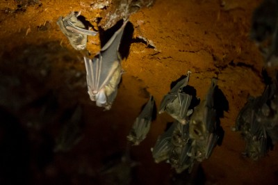 bats (Vampire bat, upper left)