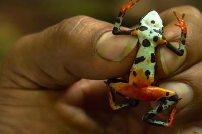 Harlequin Toad (bottom side)