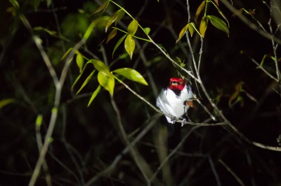 Red-Capped Cardinal (at night)