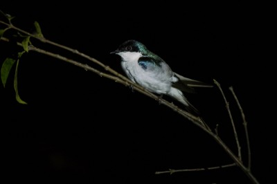White-Winged Swallow (at night)