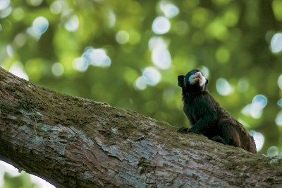 White-Moustached Tamarin