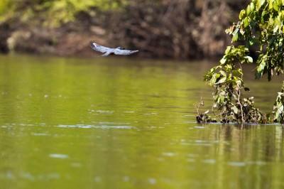 Kingfisher... fishing