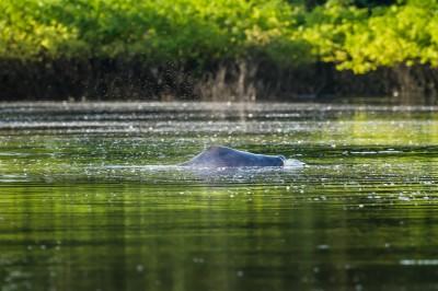 Amazon Pink Dolphin